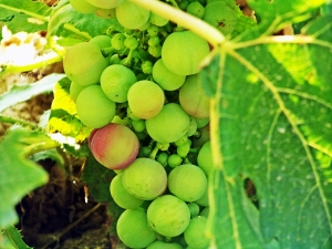 Beautiful Spanish grapes on the vine.