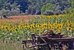 Sunflowers everywhere!