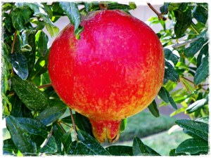 A beautiful pomegranate on my very own tree!