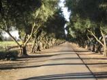 Olive trees, UC Davis